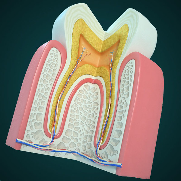 tooth section pulp 3d model