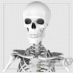 human skeleton anatomy skull max