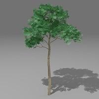 max pinus tree