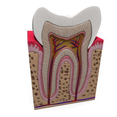 teeth anatomy 3d model