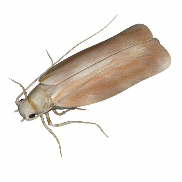 clothes moth 3d model