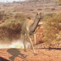 3D Camel for Poser