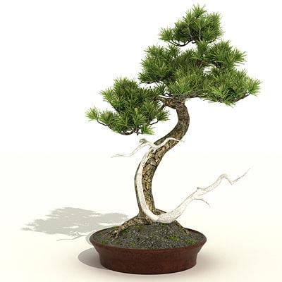 maya bonsai tree