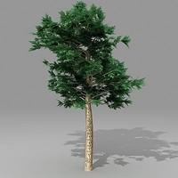 pinus 3d model