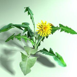 dandelion plant 3d model