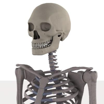 male skeleton 3d model
