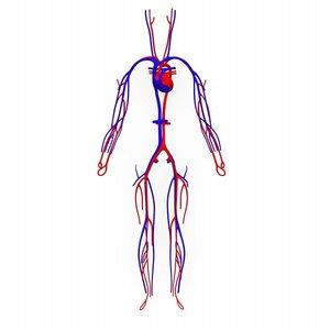 human circulatory heart 3d model