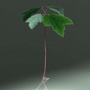 3d sapling plant leaf model