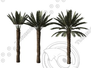 3d model date palms phoenix dactilifera