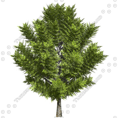 neem tree aziderachta inerme 3d model