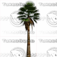 3ds max fan palm washingtonia filifera
