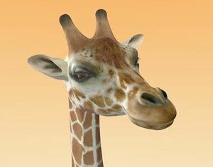 maya giraffe