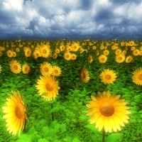 3d sunflowers field model