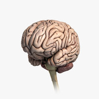 3d medically human brain model
