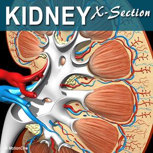 3d cross sectional human kidney model