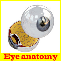 eye anatomy 3d model