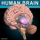 Human Brain Ultimate