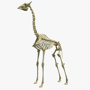giraffe skeleton 3d model