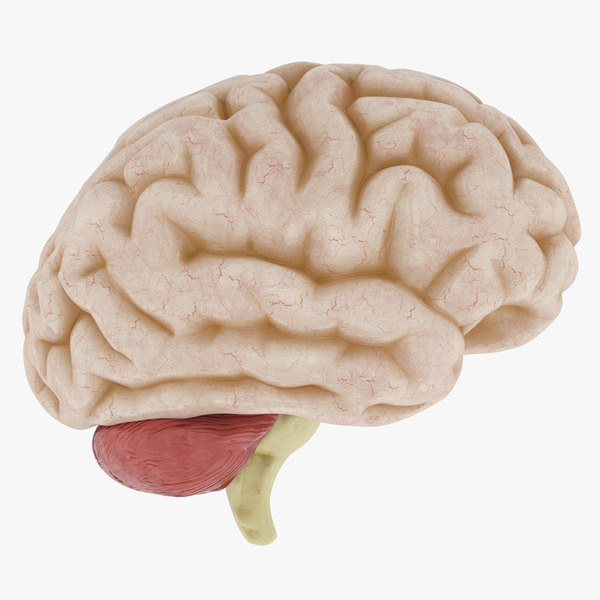 Anatomy Human Brain