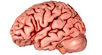 3d Brain Medically Accurate Brain Anatomy Model High Resolution