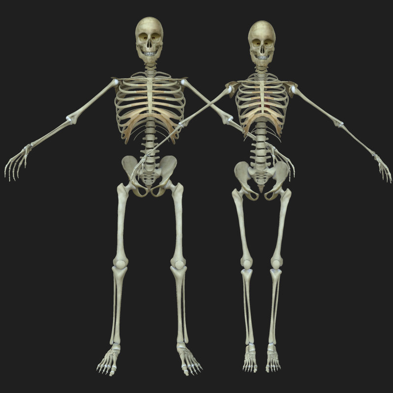 Male Human Skeleton Bone 3d Max