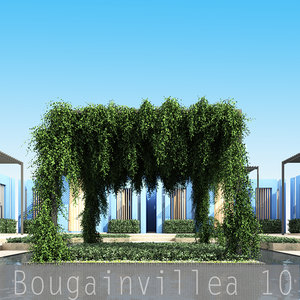 Bougainvillea 10