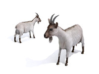 Realistic Animated Rigged Animal Goat 4LOD