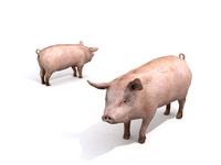 pig animal 3d max