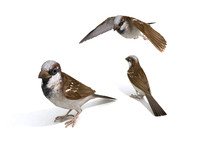 Realistic Animated Rigged Animal Sparrow 3LOD