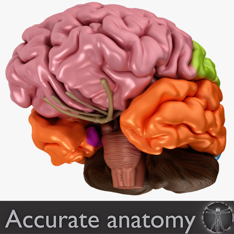 3d Other Brain Anatomy Human