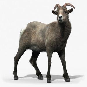 3d model of bighorn sheep female fur