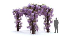 wisteria flowering 3D