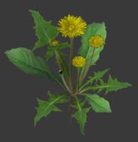 dandelion taxacum 3D