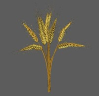 wheat golden model
