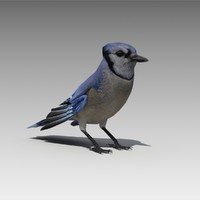 3D blue jay animations