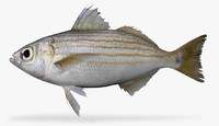 longfin salema 3D model