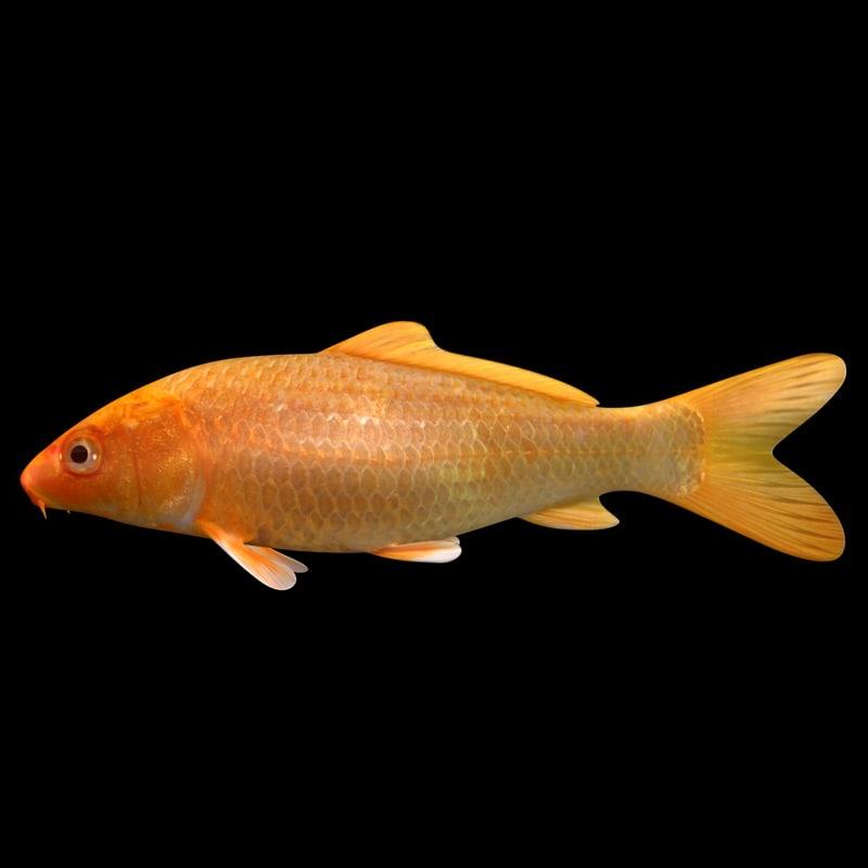 3D koi fish scanline model