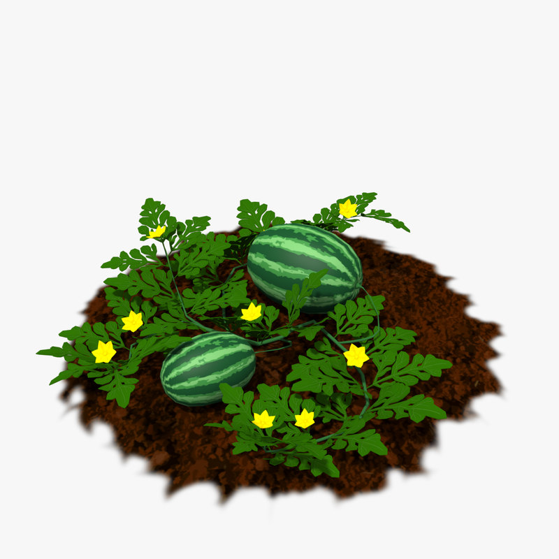 watermelon plants model