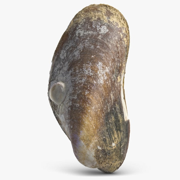 3D model mussel shell