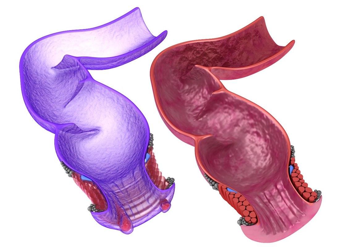 3D model anal anatomy rectum human