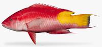 3D spotfin hogfish model
