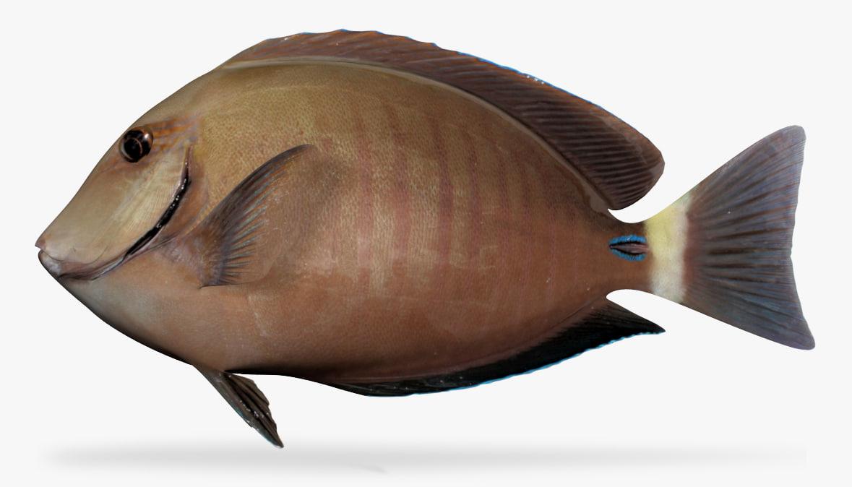 3D model doctorfish fish