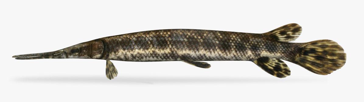 lepisosteus oculatus spotted gar 3D