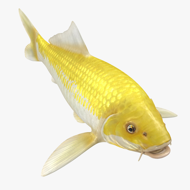 3d yellow koi ogon fish model 1144510 turbosquid for Yellow koi fish for sale