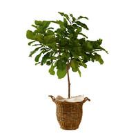 Ficus lyrata in basket