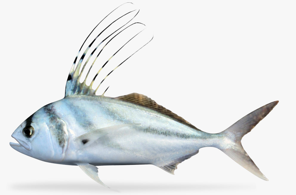 roosterfish fish 3D model