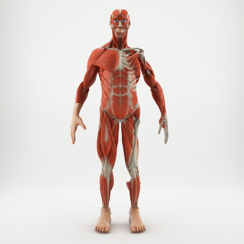 Figure human anatomy 3D   1145282   TurboSquid