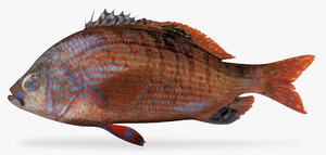 rainbow seaperch perch 3D model