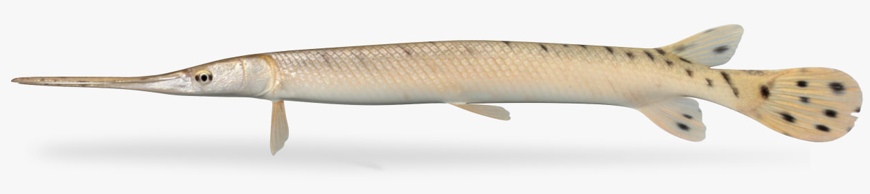 lepisosteus osseus longnose gar 3D model