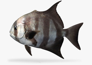 pacific spadefish 3D